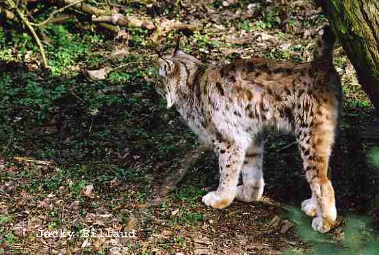 un lynx